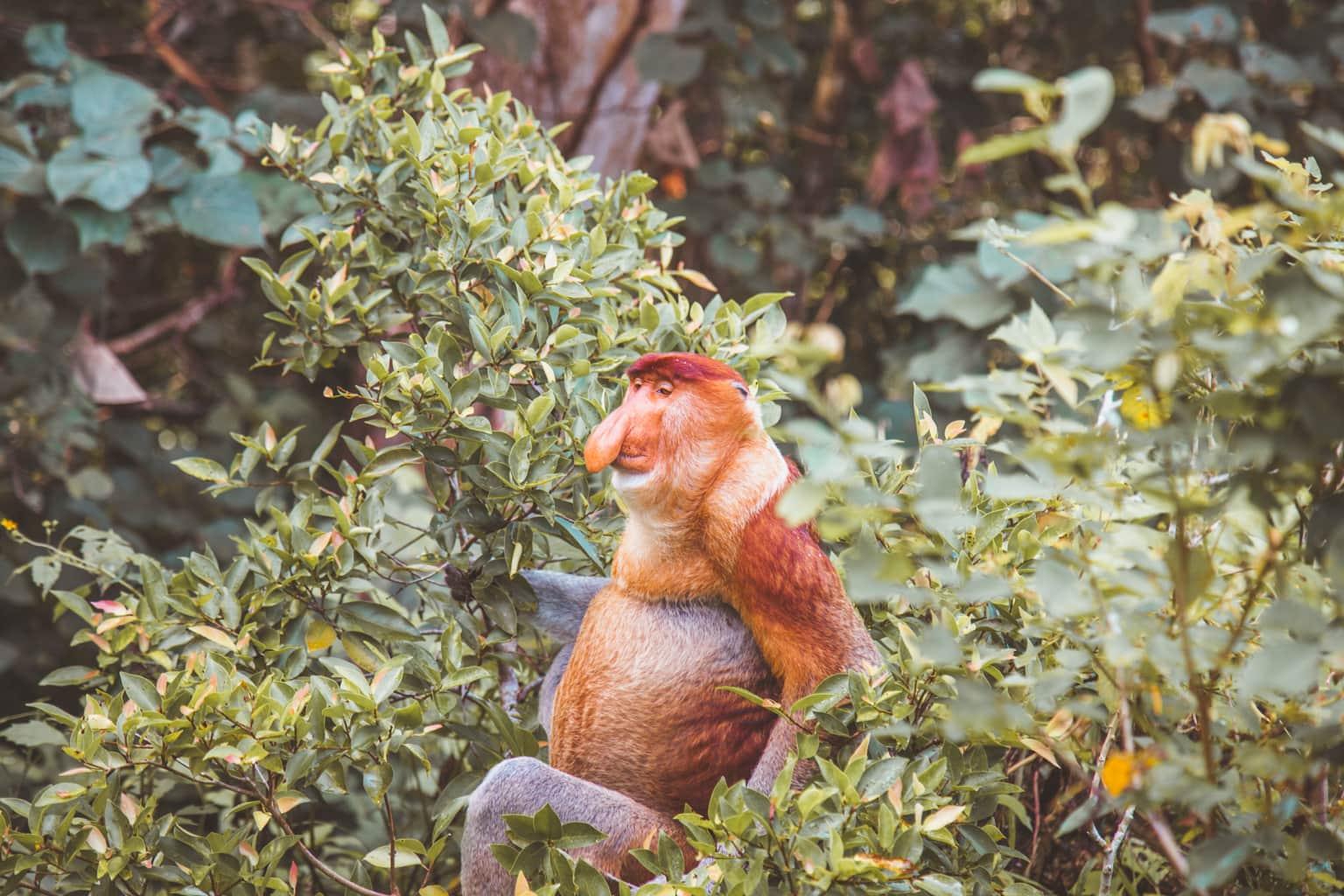 Proboscis monkey Borneo, Malaysia, Animal Welfare, Wildlife Sustainable Travel