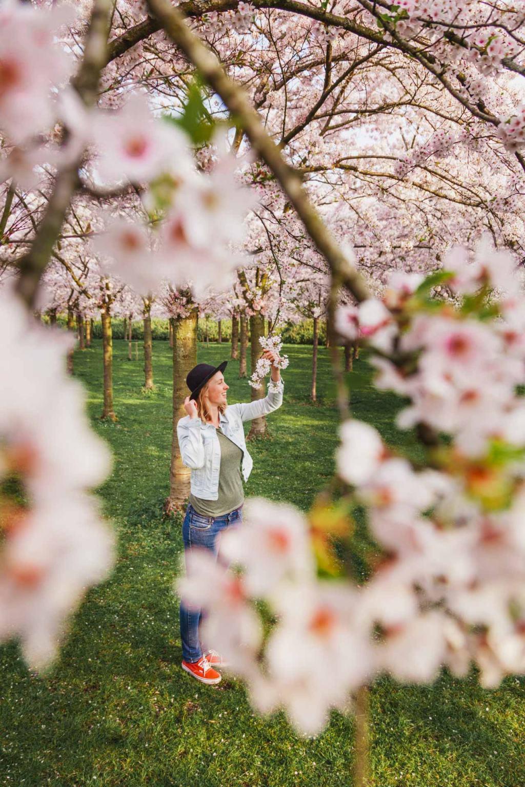 Sakura, Cherry Blossom, Amsterdamse Bos
