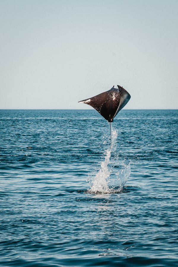Mobula rays, jumping rays, diving in Mexico