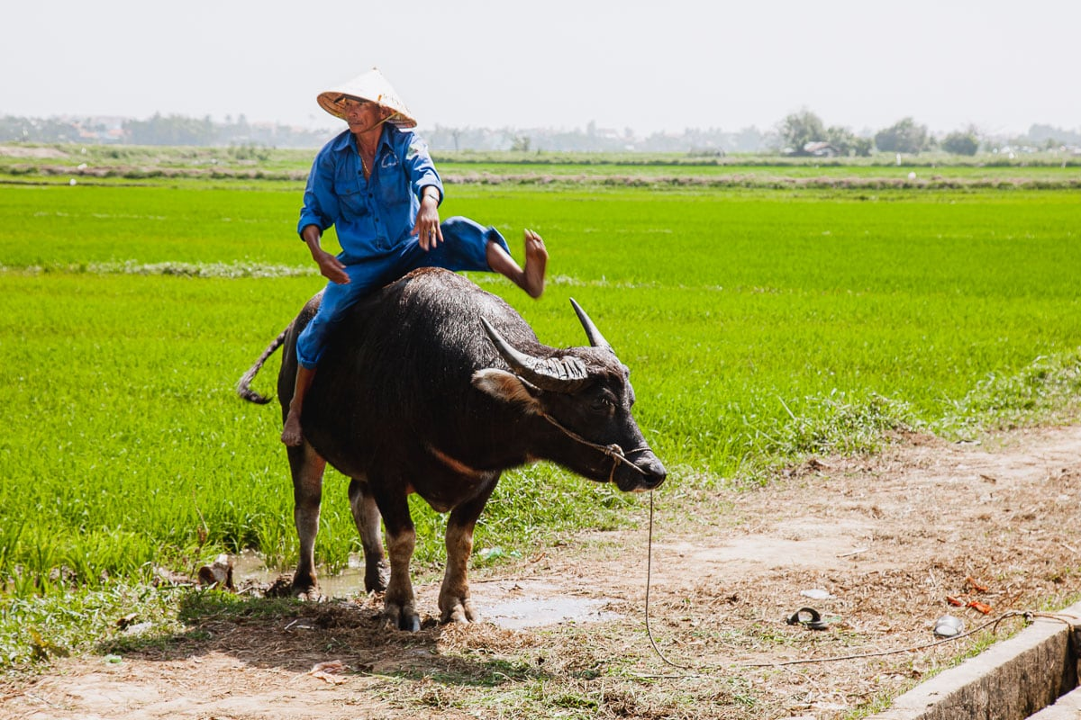 Water Buffalo Getting Around Vietnam