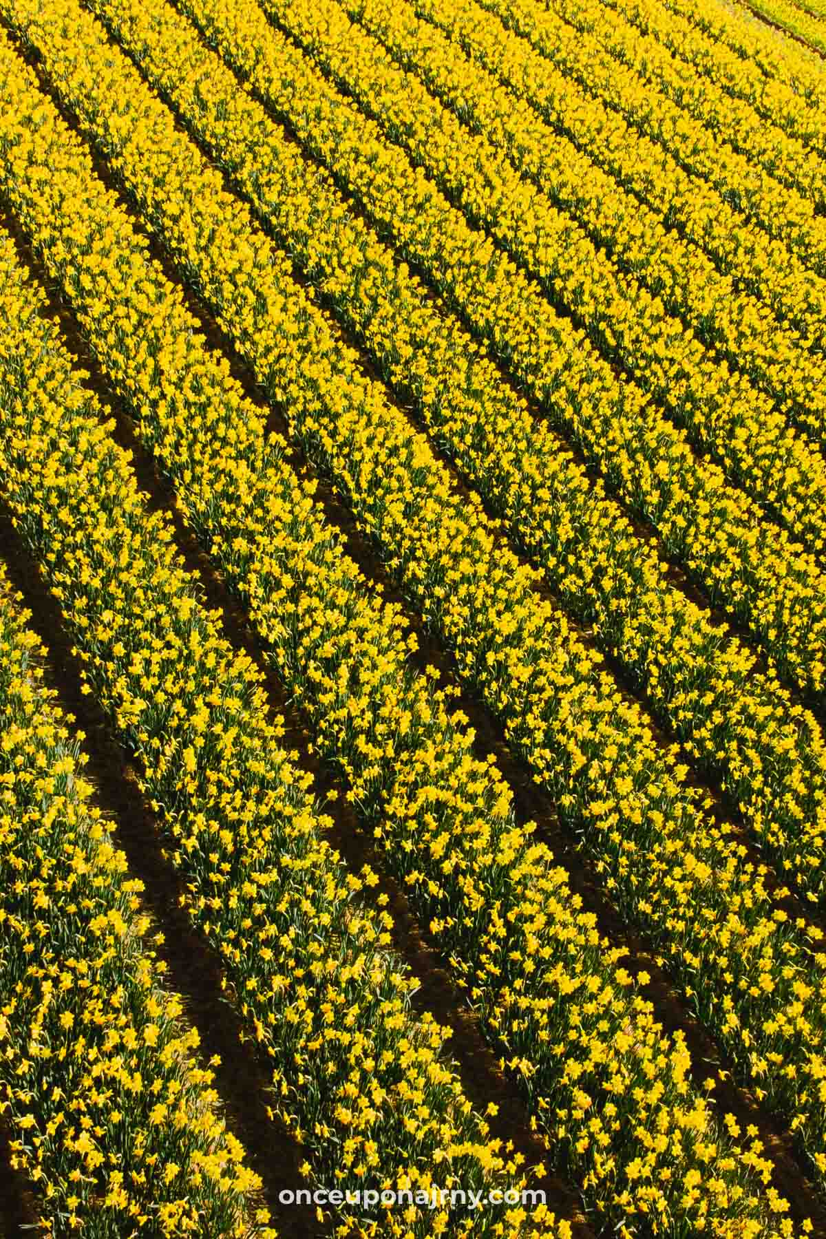 Daffodils Flower Fields Netherlands Keukenhof