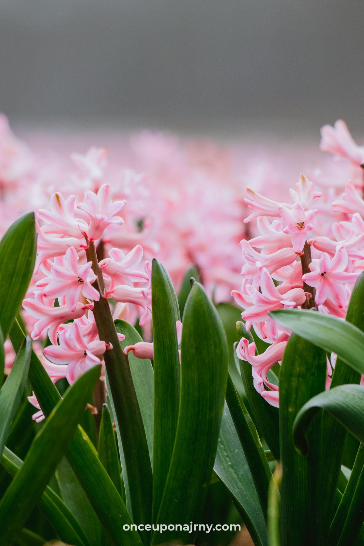 Hyacinten Keukenhof bollenstreek
