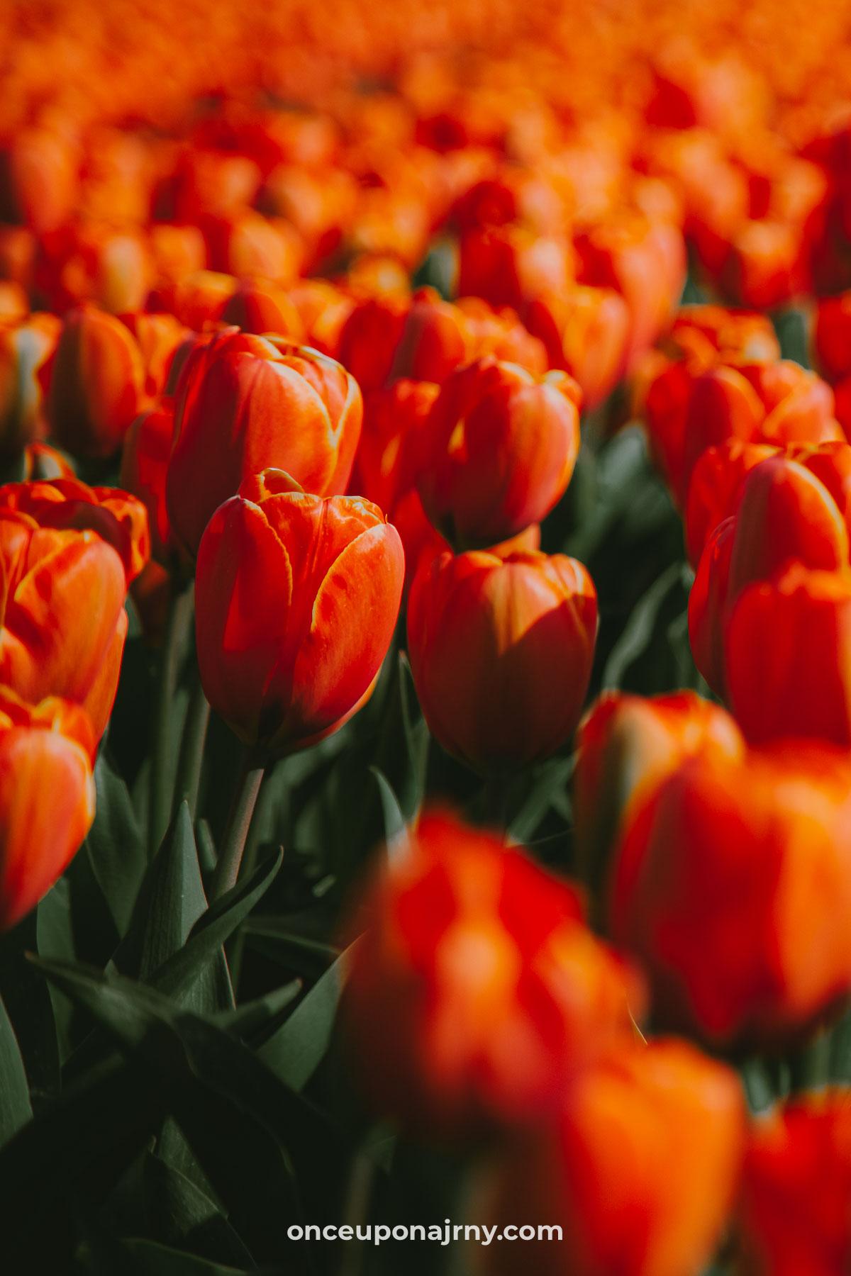 Orange tulip fields North Holland Netherlands