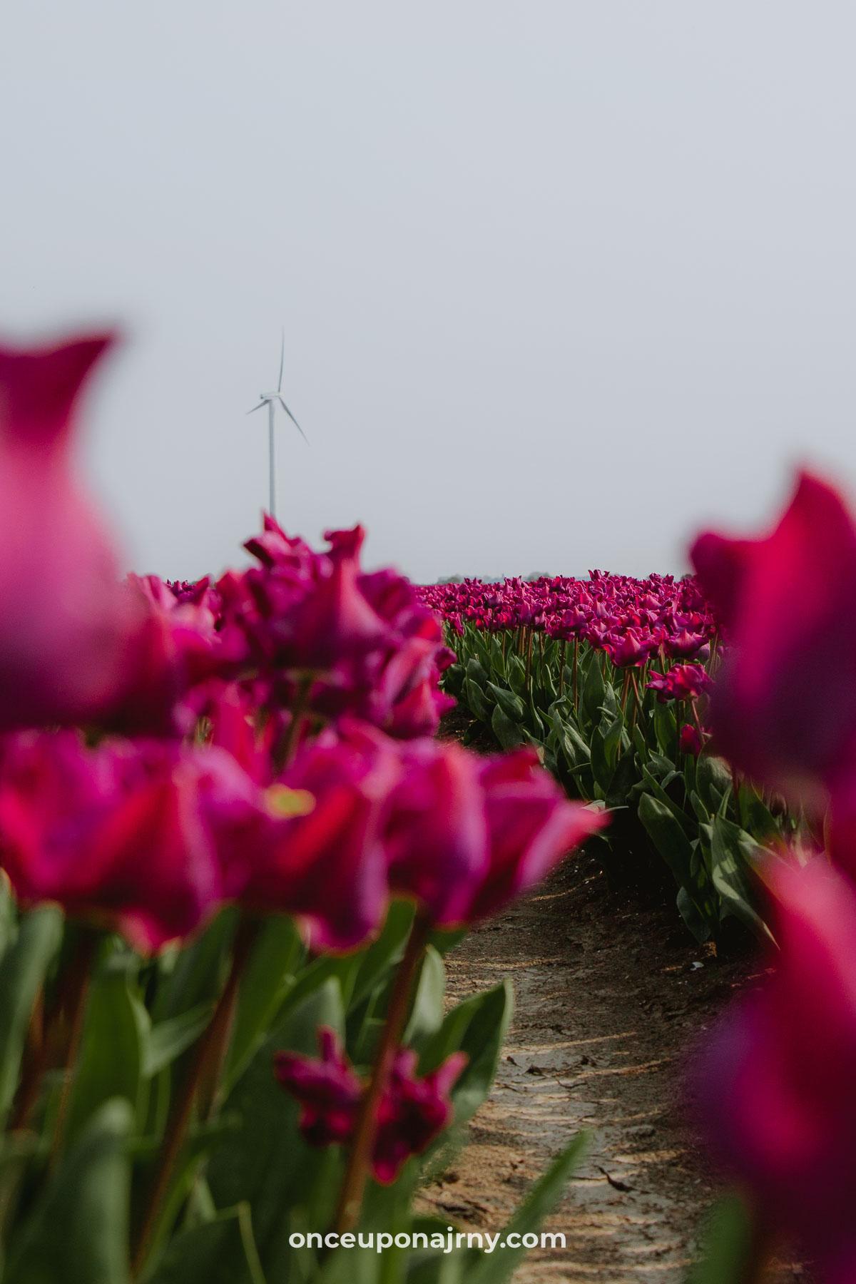 Paarse tulpenvelden windmolen Flevoland Zeewolde