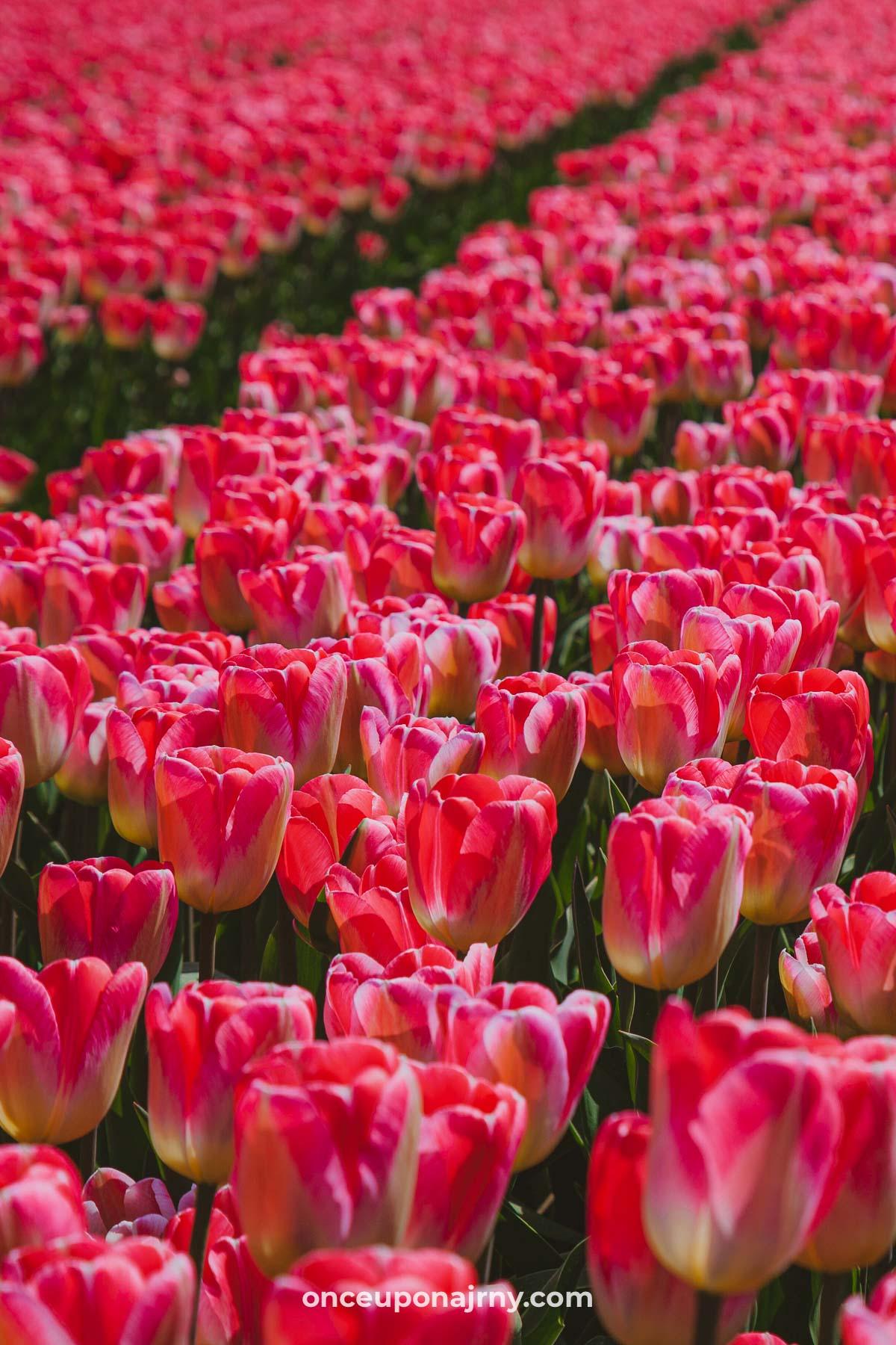 Pink tulip fields Netherlands