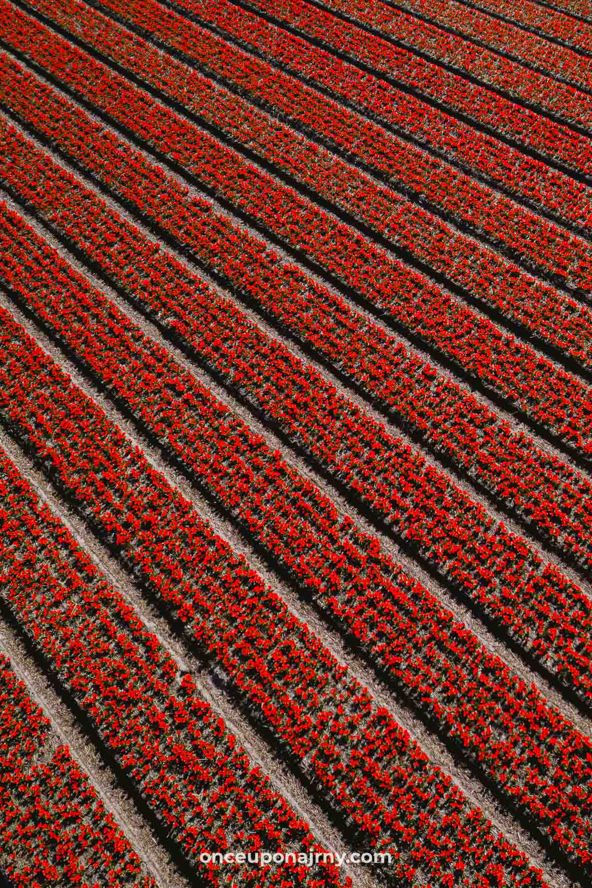 Red tulip fields Holland