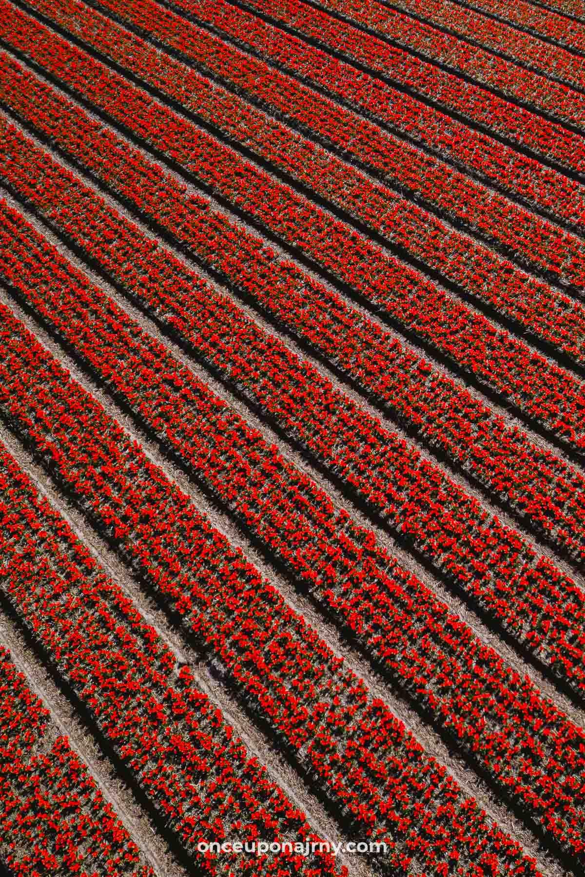 Rood tulpenveld bollenstreek