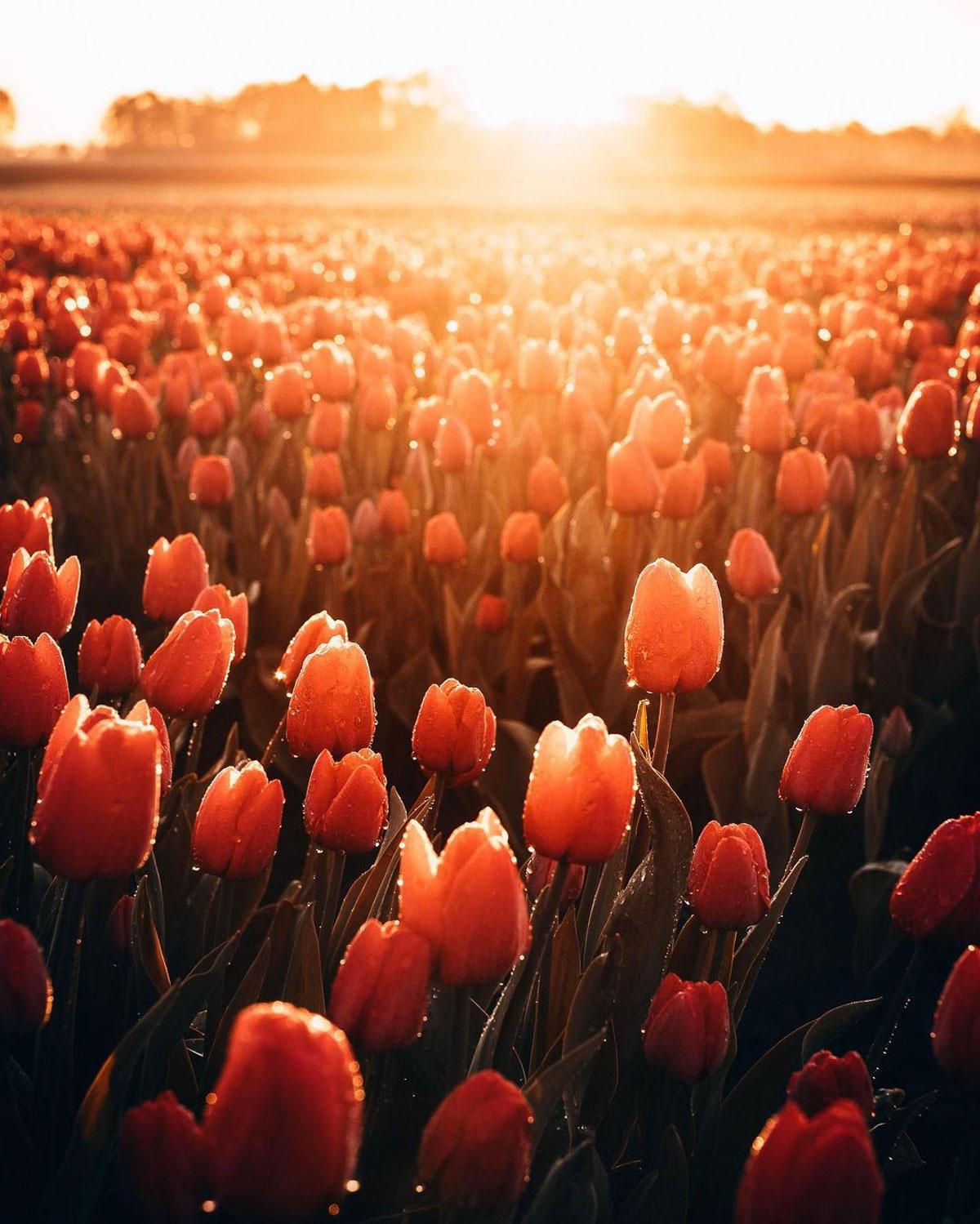 Tulip fields Groningen Smilde by photographer Marion Stoffels