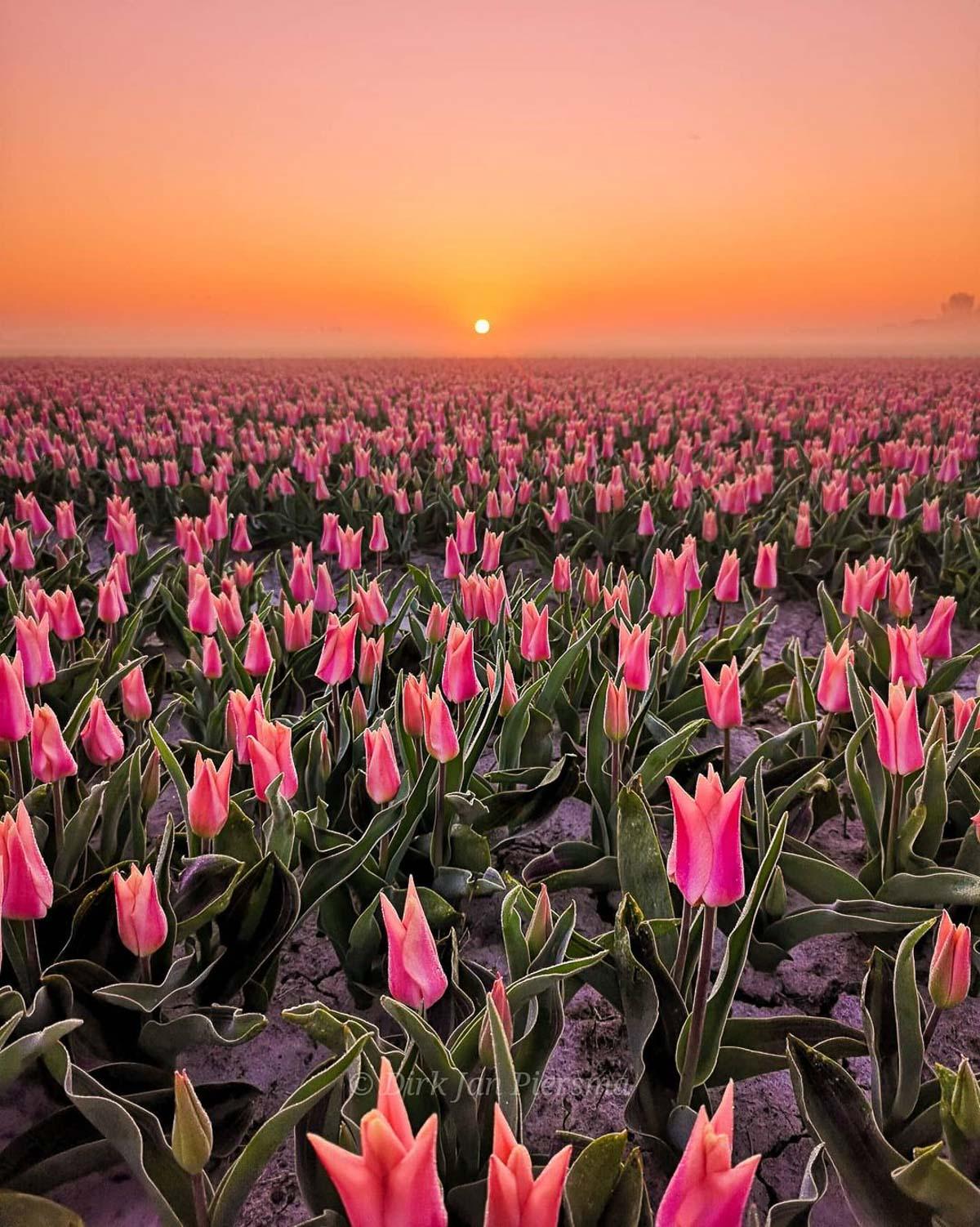 Tulpenvelden Friesland Workum door fotograaf Dirk Jan Piersma