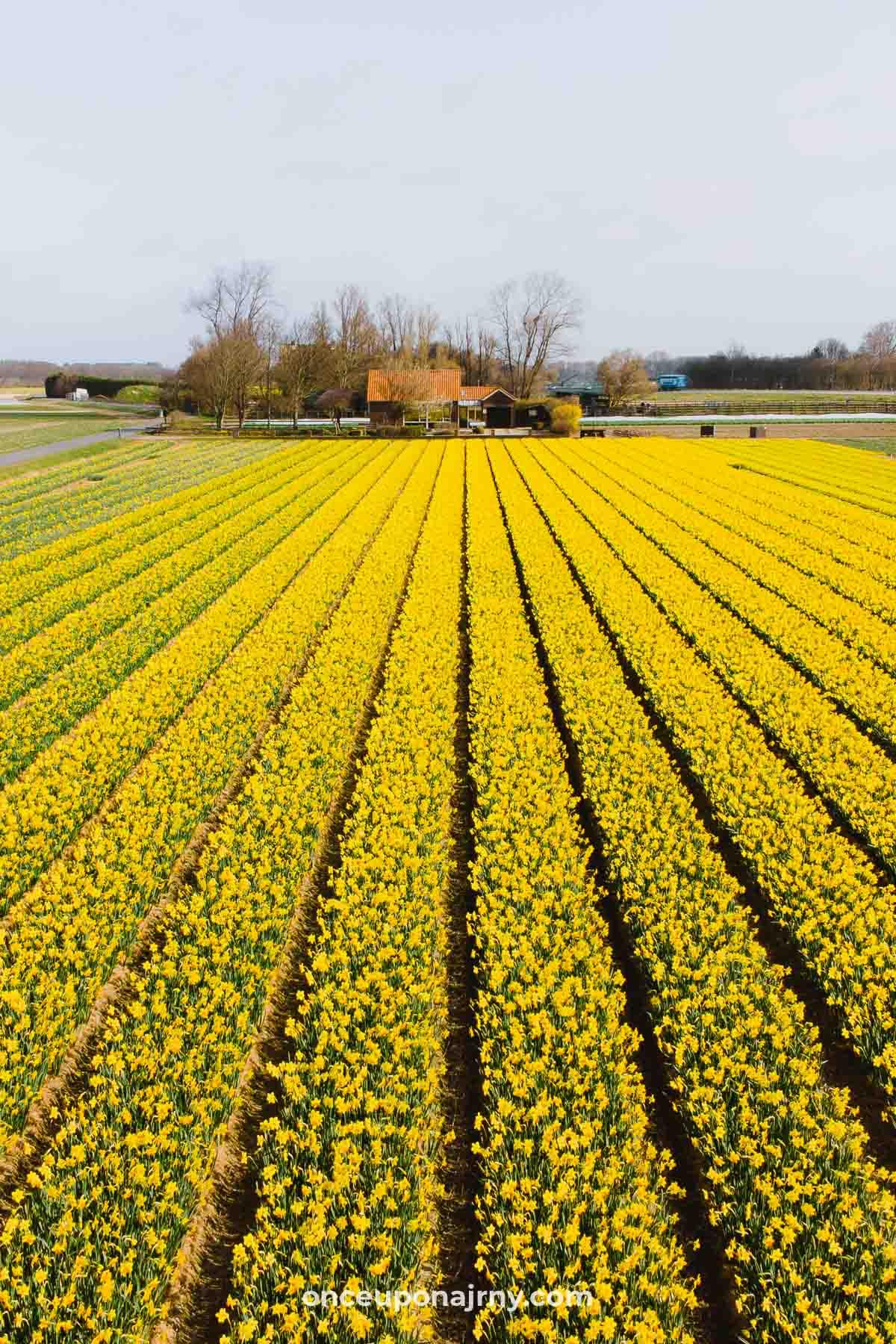 Yellow Daffodils Flower Fields Holland