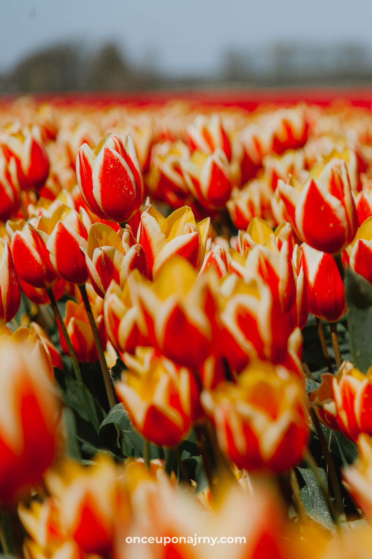 Yellow red tulip fields North Holland