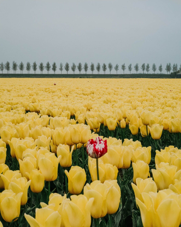 Yellow tulip field Netherlands Goeree-Overflakkee by photographer Marit Gijsberts