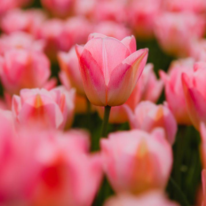 De mooiste tulpenvelden Nederland (en meer bollenvelden)