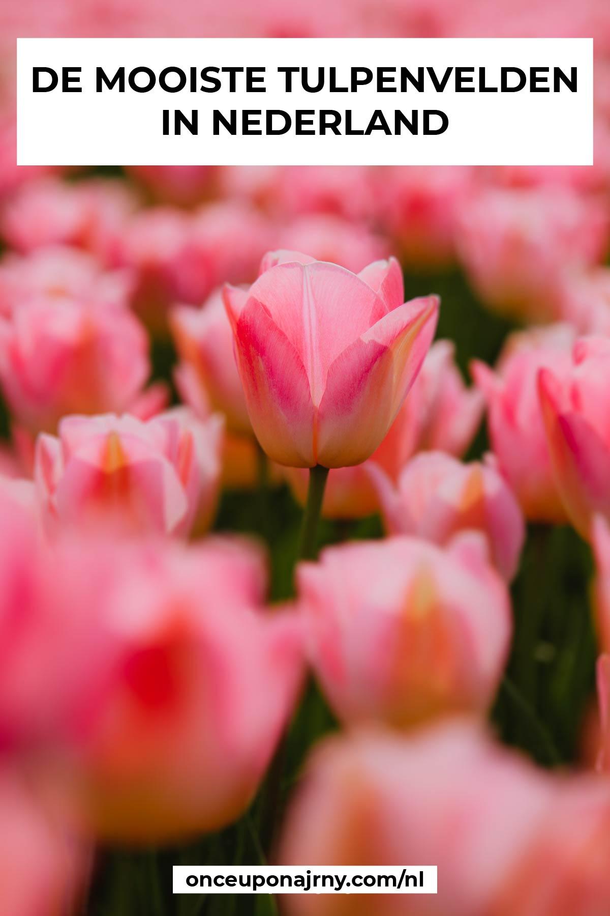 mooiste tulpenvelden nederland