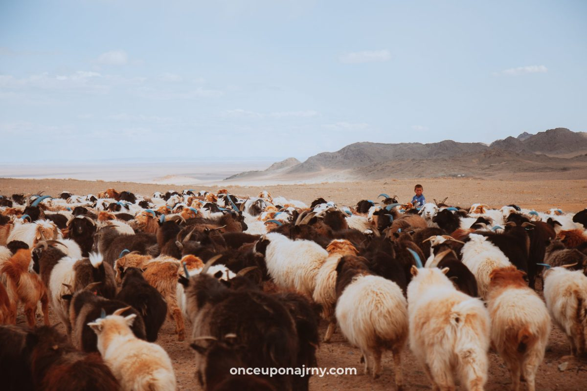 Animal traffic jam in Mongolia sheep and goats